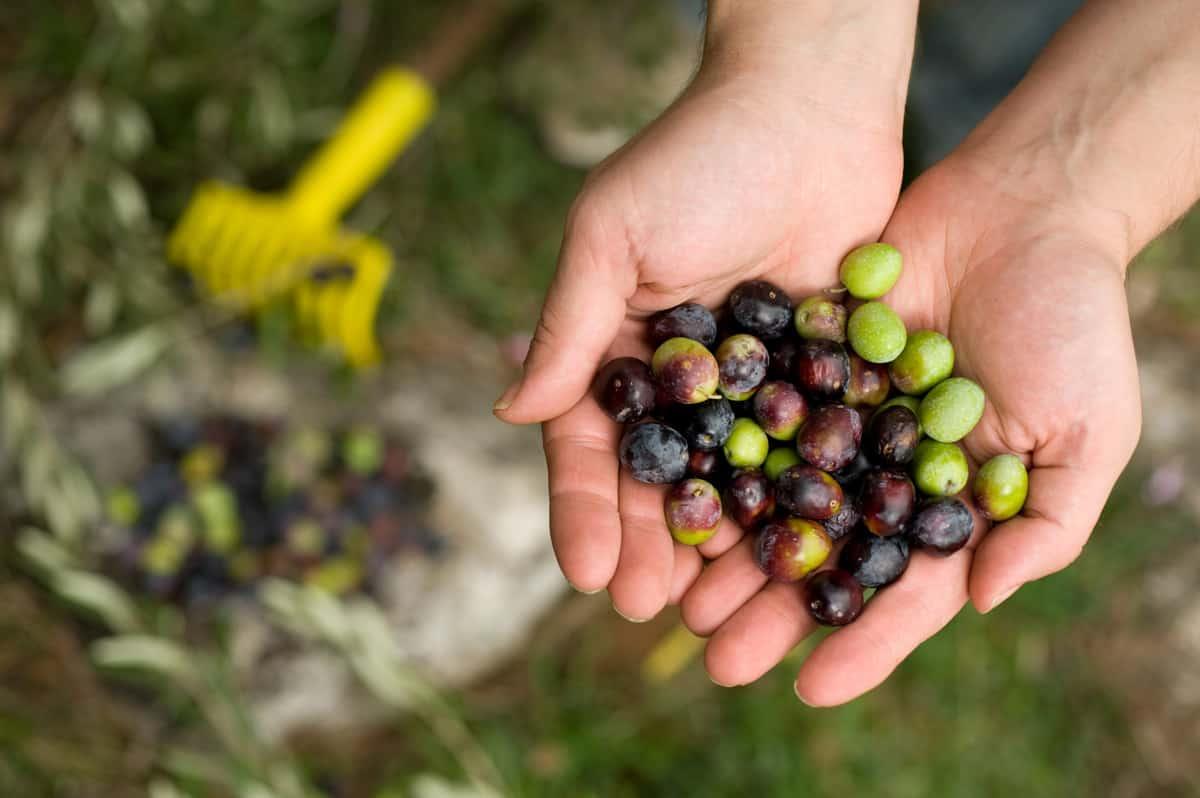 Zeytinyağı hakkında doğru bilinen yanlışlar nelerdir?